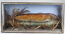 Early 20th Century taxidermy stuffed pike, in a glazed front case enclosing