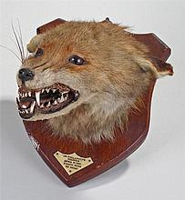 Fox mask or head on a shield shaped wooden mount with label Mr Phillpott's