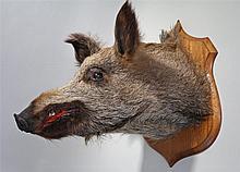 Taxidermy boars head, mounted on an oak shield back, 52cm high - Stock Ref: