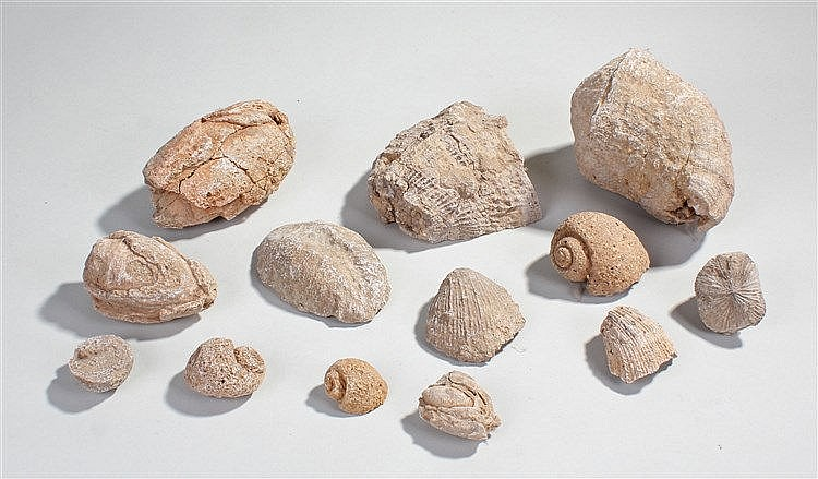 Fossils, to include shells, snail, etc, (qty)