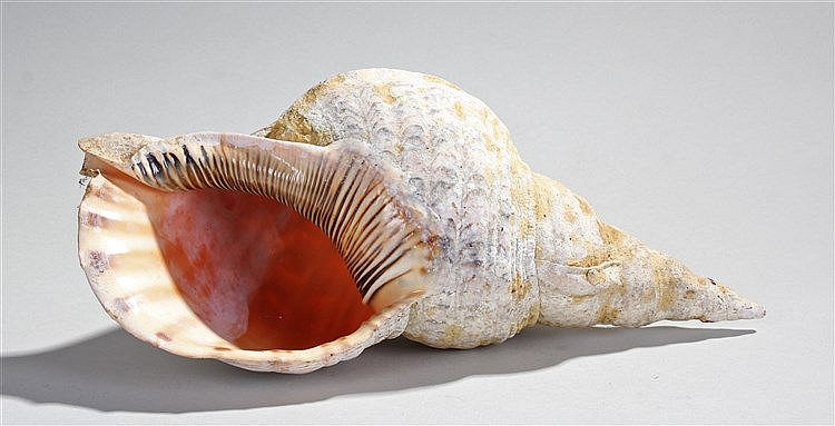 Large conch shell, of typical form, 37cm long