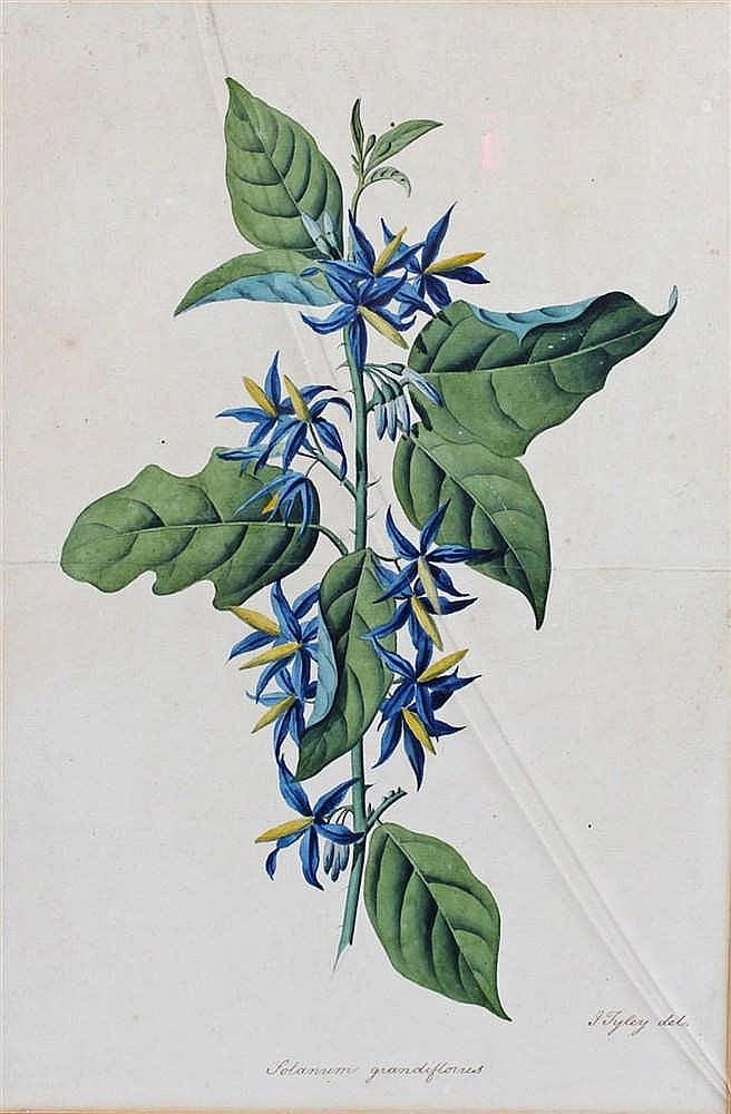 19th Century watercolour, Solanum Grandiflorum, signed L Tyley, 25cm x 37cm