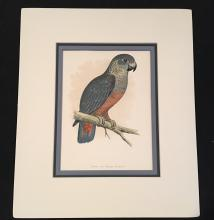 The Violet Parrot by Fawcett, W.T. Greene's Parrots in Captivity