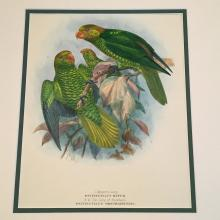 Meyer's Lory & The Lory of Bonthain - Plate XLI by JG Keulemans,1896 Monograph of the Lories