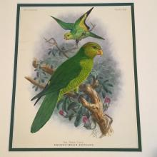 The Plain Lory - Plate XLII by JG Keulemans, 1896 Monograph of the Lories