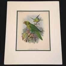 The Yellow and Green Lory - Plate XL by JG Keulemans, 1896 Monograph of the Lories