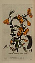 Baxter (William) British Phaenogamous Botany; or,
