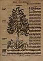 Belon du Mans (Pierre) De Arboribus coniferis,