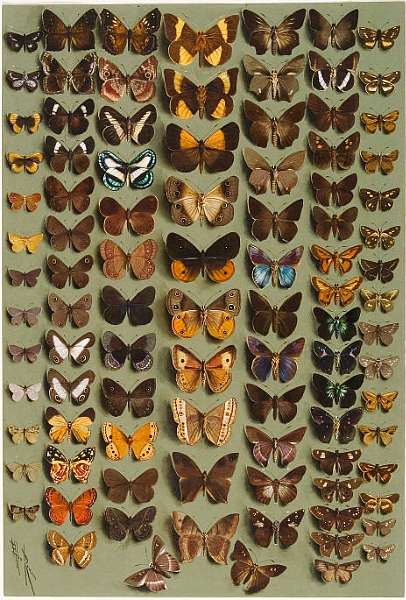 Rowan (Marian Ellis, 1848-1922) A study of ninety-six Lepidoptera, in seven columns, mostly butterflies belonging to the Hesperiidae, Lycaenidae,