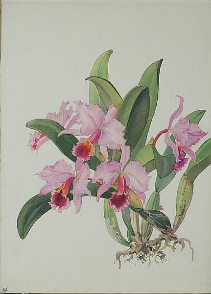 Andrey Nikolaevich Avinoff (1884-1949) 'C. Percivaliana orchid' unframed