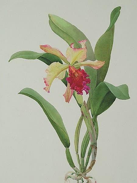 Andrey Nikolaevich Avinoff (1884-1949) 'L.C. Derna orchid', circa 1947 unframed