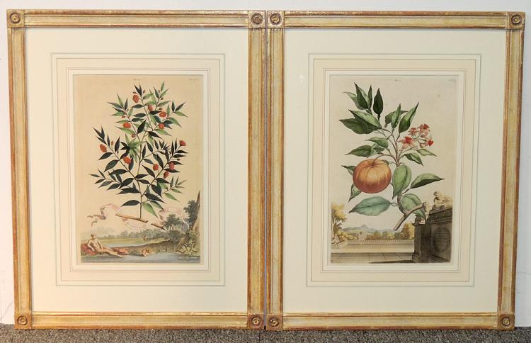 Two Abraham Munting Hand-Colored Engravings