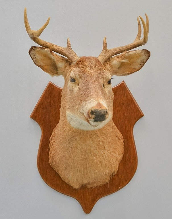 Vintage Taxidermy Eight Point Deer Mount