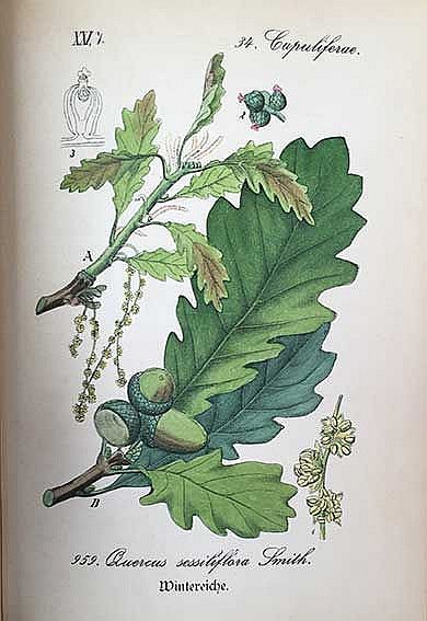 SCHLECHTENDAL, D.F.L. v., L.E. LANGETHAL & E. SCHENK. Flora von Deutschland