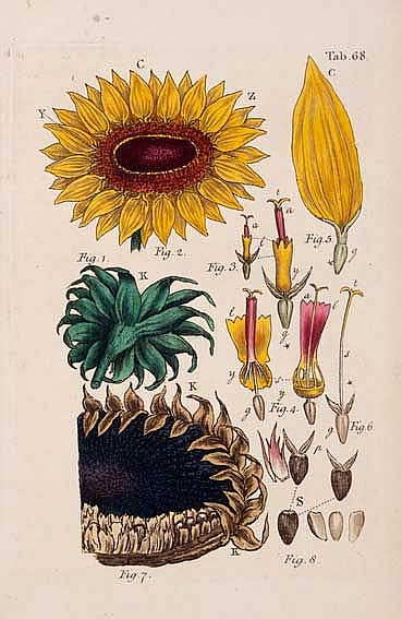 BOTANY -- MILLER, J. (actually J.S. Müller). An illustration of the sexual
