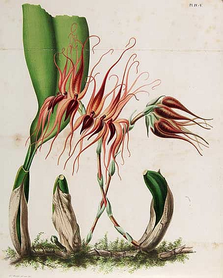 BOTANY -- OUDEMANS, C.A.J.A., red. Neerland's plantentuin. Afbeeldingen en