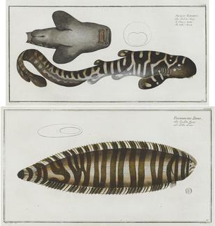 Marcus Elieser Bloch-(French, 1723-1799)-6 Plates, from Allgemeine Naturgeschichte der Fische  6