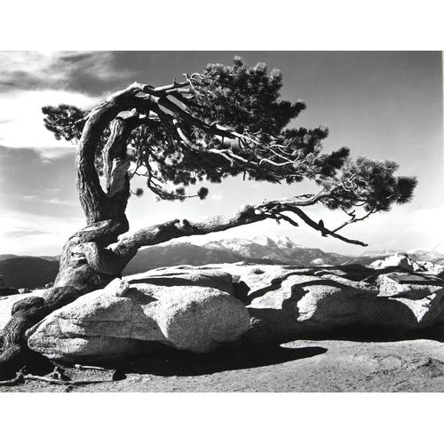 Ansel Adams, Jeffrey Pine, photograph