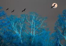 Birches and Frigate Birds