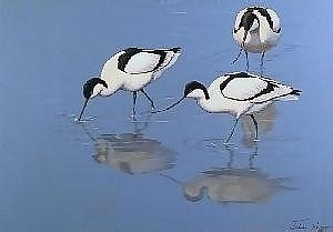 Julian Novorol - Gouache - Three avocet wading in shallow water casting shadows  to front, 14ins x 20ins, signed in full and dated 1997, in gilt frame and glazed Illustrated  E100--150