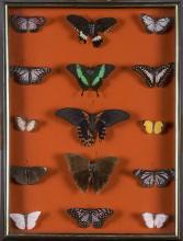 Lepidopterology Display
