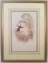 John Gould Hummingbird