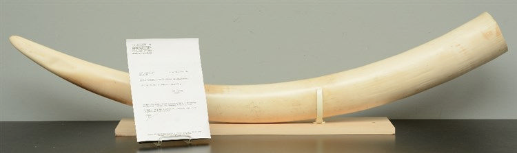 An Imperssive ivory tusk on matching wooden base, H 34,5 (with base) - L 14
