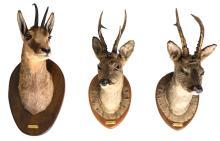 Three hunting trophies, H 53 - 57 cm