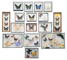 A collection of exotic and other butterflies, all in the accompanying showcases
