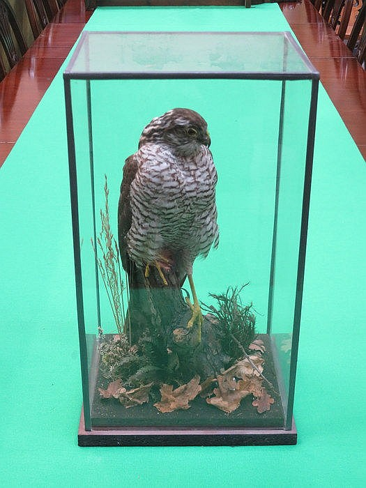 TAXIDERMIC SPECIMEN OF A KESTREL WITHIN A GLASS CASE