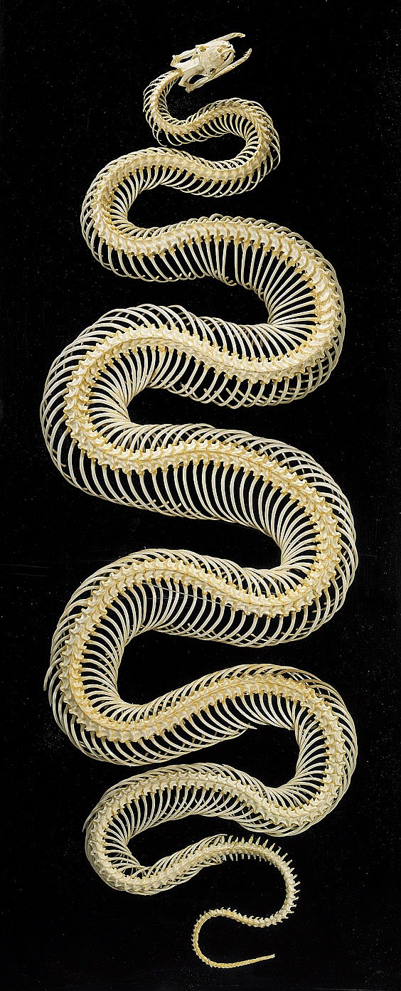 LARGE SNAKE SKELETON