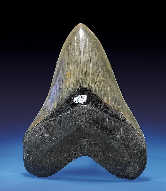 PAIR OF MEGA-SHARK TEETH