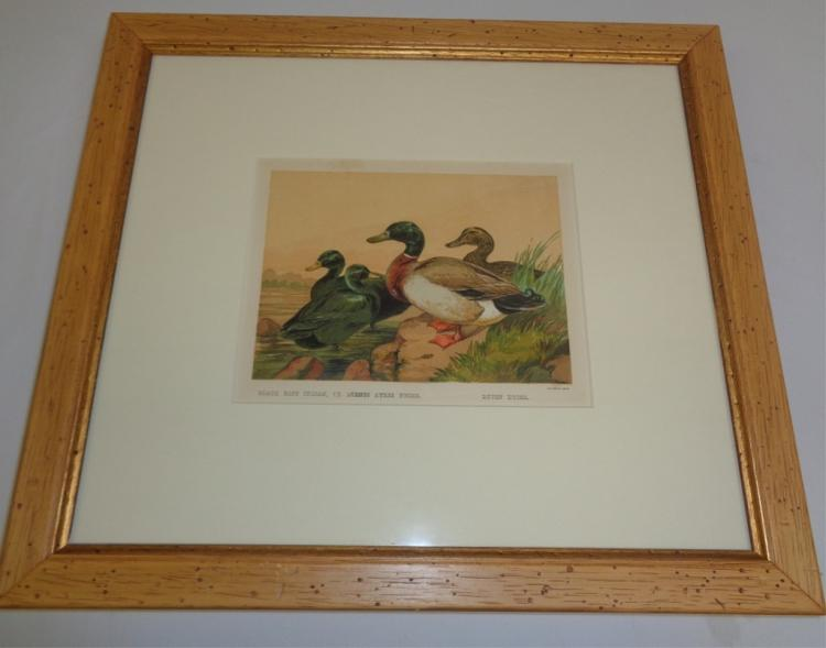 Black East Indian, Or Buenos Ayres Ducks Framed