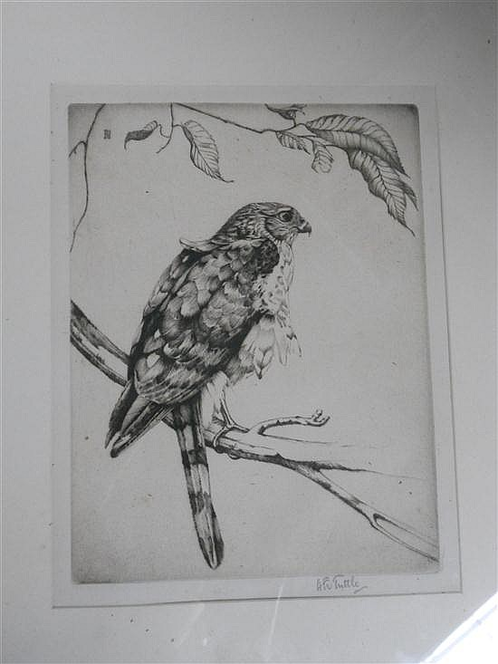 Henry Emerson Tuttle (American, 1890-1946) - A Sharp-Shinned Hawk  - signed lower right