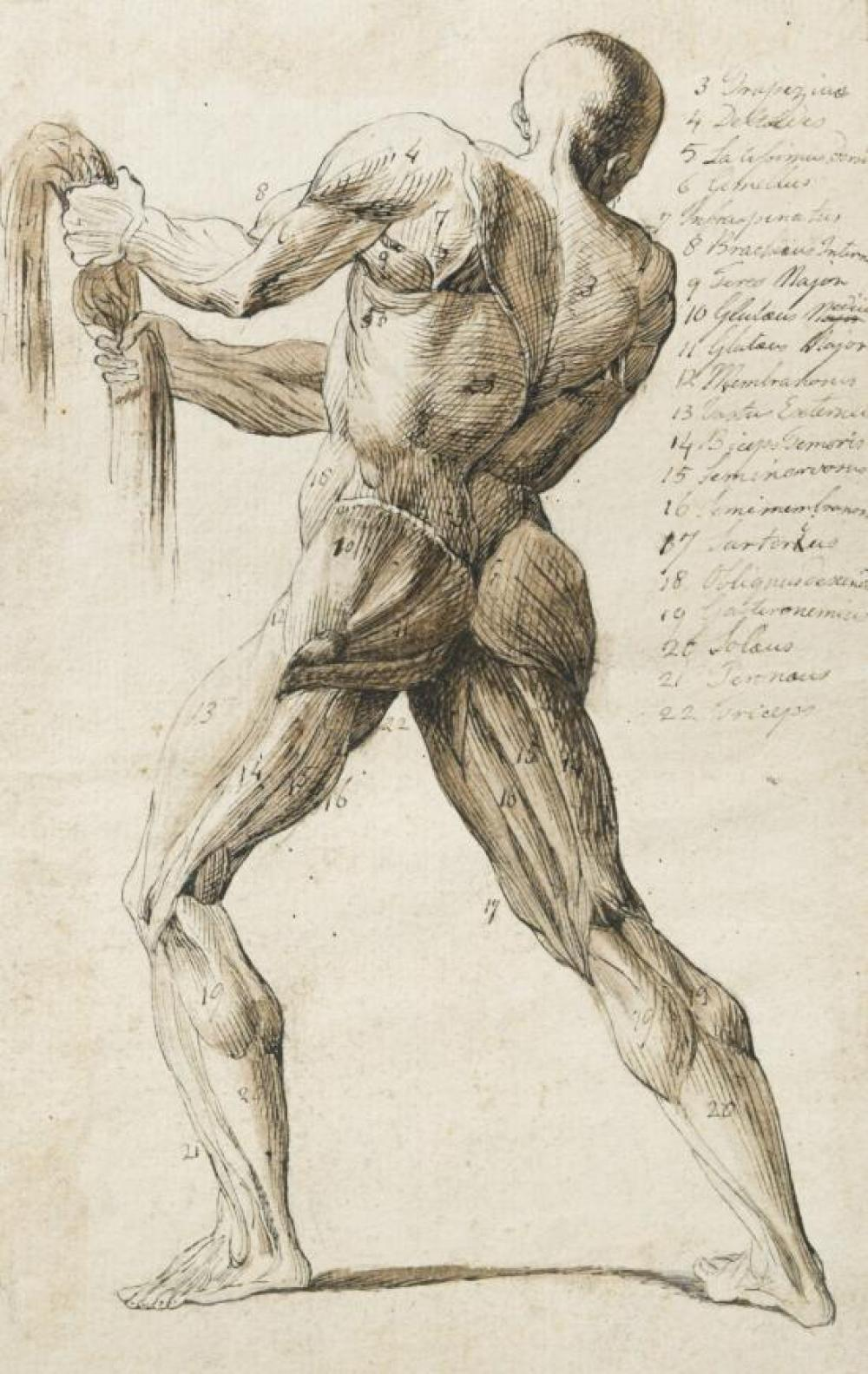 Italian School, 18th Century A group of 4 anatomical studies showing the human musculature and the sinews and ligaments of the human...