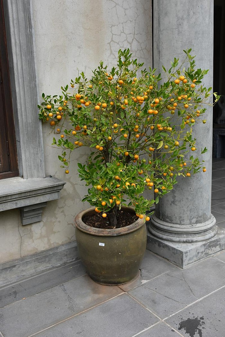 A large citrus tree supported in a Terracotta urn. Height 178, width 100cms.