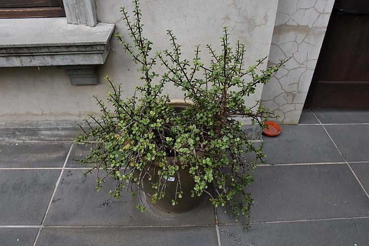 An outdoor terracotta green glazed pot with succulent. Height 108cm, Width 46cm