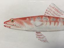 Antique chromolithograph of Hawaiian fish, printed by Julius Bien. New York, 1903