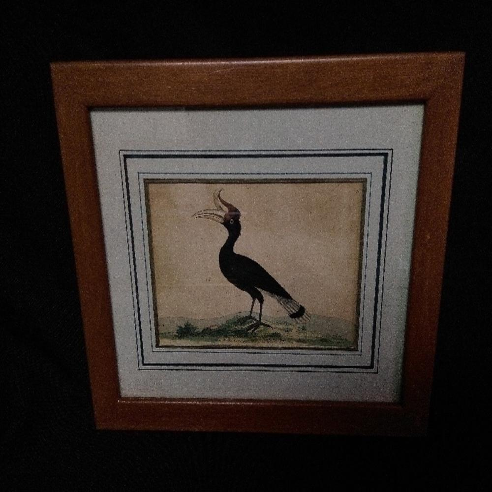 Antique Framed Great Hornbill by F.P Nodder 1790