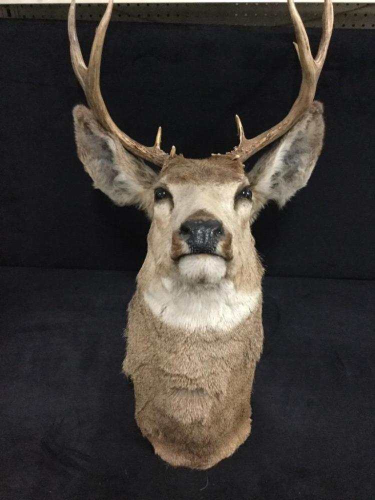 Mounted Deer 4X3 or 7 point Rack