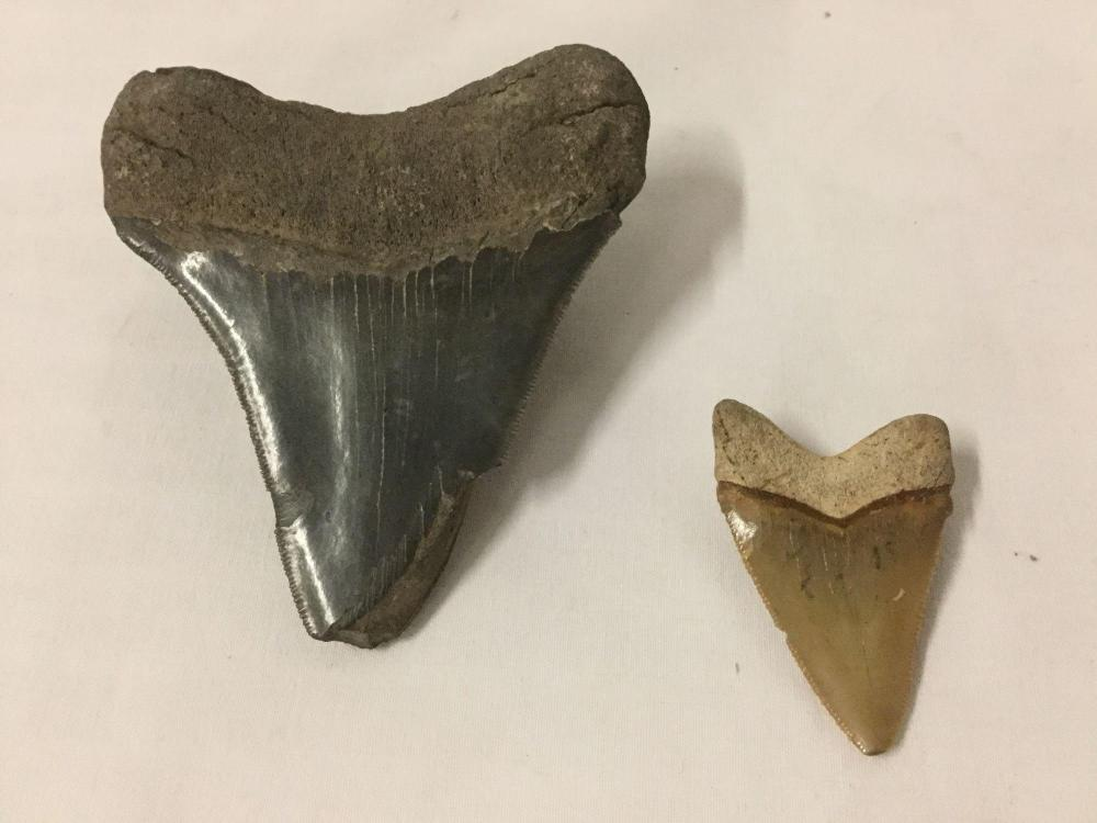 Lot 120: Lot of 2 fossilized animal teeth (larger possibly megalodon)