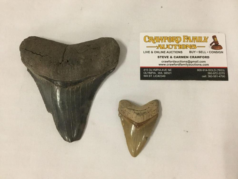 Lot of 2 fossilized animal teeth (larger possibly megalodon)