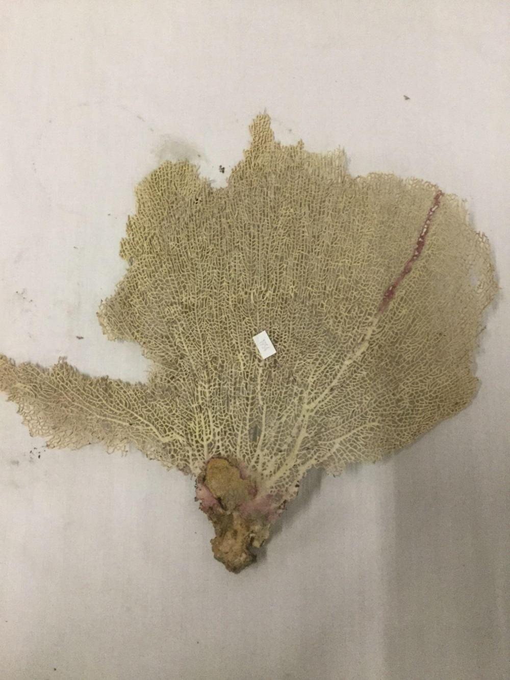 Lot 195: 2 pc of dried coral - largest measures 15x13x1