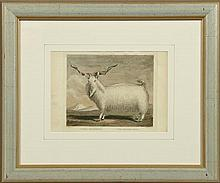"""W. Skelton (1760-1848), """"The Angora Goat,"""" 19th c., colored engraving, presented in a silvered frame, H.- 7 1/2 in., W.- 11 in."""