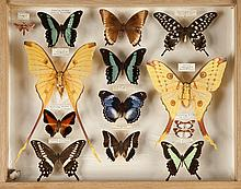 Ensemble de trois meubles contenant 60 tiroirs vitrés renfermant environ 5000 papilons Rare collection entomologique du Docteur Kovach entreprise en 1905. On y joint un ensemble de carnets, notes du collectionneur, et article «Kaléidoscope» datant du