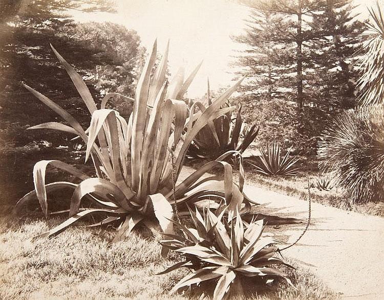 Jean GILETTA (1856-1933)Etude d'agave, vers 1880.Tirage albuminé.20 x 25,5 cm.