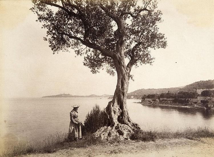 Jean GILETTA (1856-1933)Etude d'olivier sur la Riviera, vers 1880.Tirage albuminé.20 x 27,5 cm.