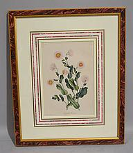 FRAMED BOTANICAL. RHODANTHE MAGLESII. from book on Chatworth gardens. in french matte in frame. Size; 16''H, 13 1/2''W. Condition: age appropriate wear.