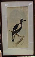 Neville Cayley ( 1886-1950) Magpie watercolour