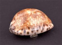 A 19th century cowrie shell snuff box  appears unmarked, the hinged cover with scrolling thumbpiece,